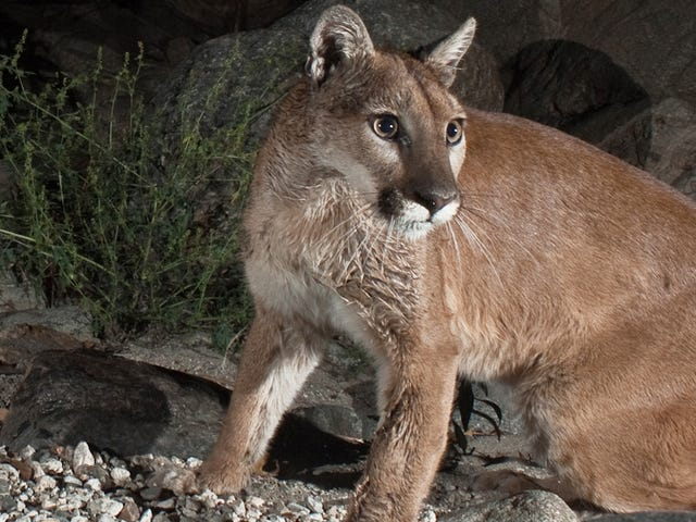 Cougars Will Repopulate American Midwest In Next 25 Years
