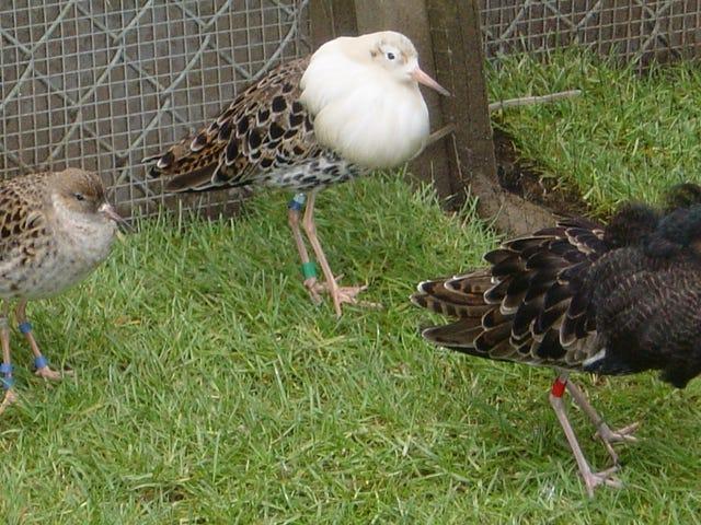 """Ένα """"Supergene"""" μπορεί να καθορίσει στρατηγικές ζευγαρώματος για αυτά τα αρσενικά πουλιά"""