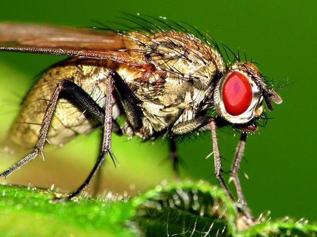Xem một con ruồi không cánh cố gắng trốn thoát