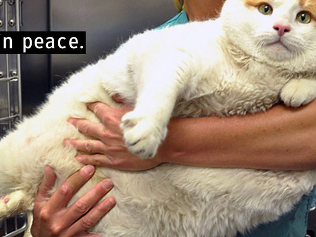 Incredibly Fat Cat Has Passed Away