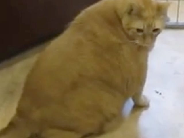 Spongebob, the 33-Pound Cat-Daddy of Cuddles, Dies of a Broken Heart