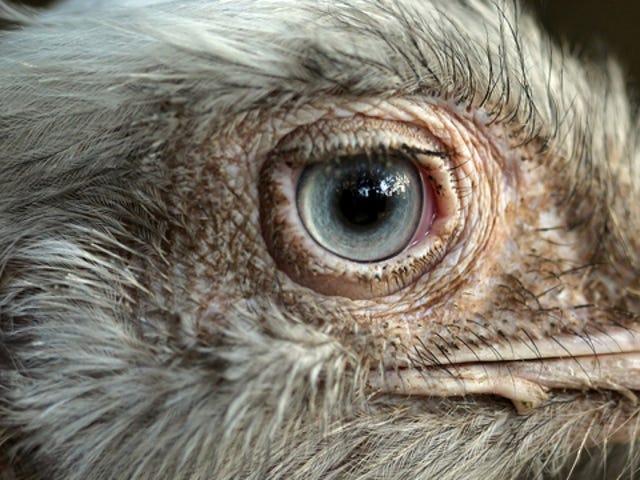 Ένας τρόπος που οι εγκέφαλοι των πουλιών θα μπορούσαν να είναι ανώτεροι από τους εγκεφάλους των θηλαστικών