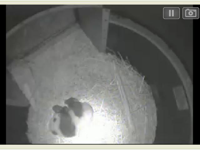 Now you can watch giant panda cub Xiao Liwu sleeping on Pandacam
