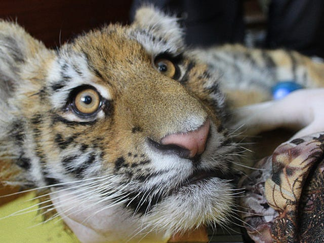 These Orphaned Siberian Tiger Cubs Are the Most Majestic Babies