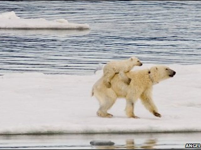 The Bears Of Svalbard Have Started Giving Out Piggyback Rides