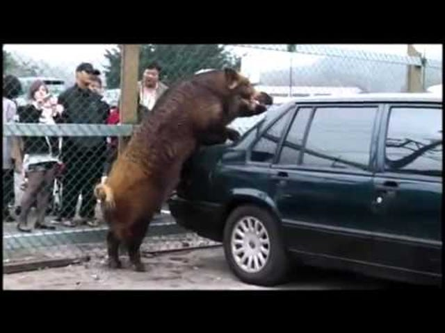 Boar /LOVES/ a Volvo 850
