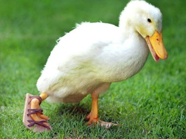 Unlucky Duck Gets Orthopedic Sandal • Overuse Of IVF Due To Sexism?