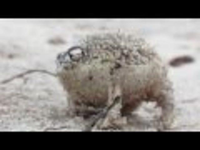 The ferocious Desert Rain Frog...