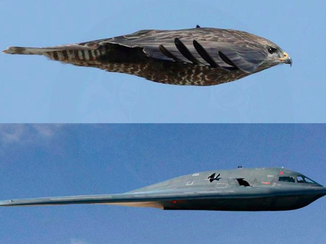 This Is Nature's B-2 Bomber