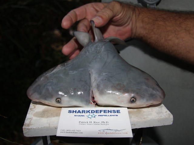Fisherman finds a bull shark with two heads
