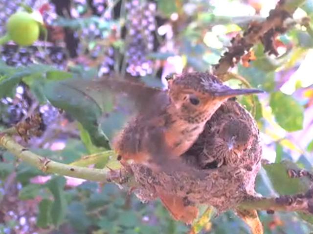 Baby Hummingbird Livestream!
