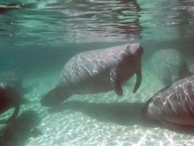 Manatee Released From Sea World After 27 Years