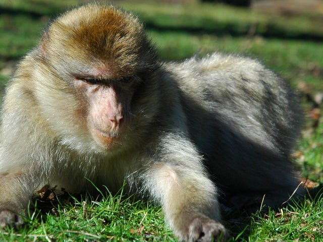 Monkeys are the most stressed when they're stuck in the middle