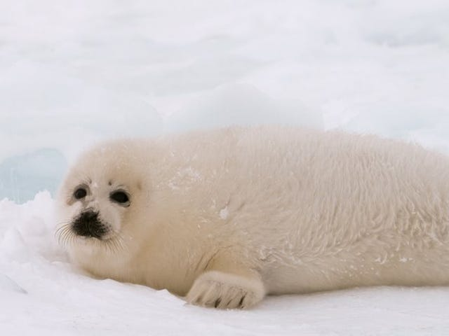 Melting Ice Is Crushing and Drowning Baby Seals