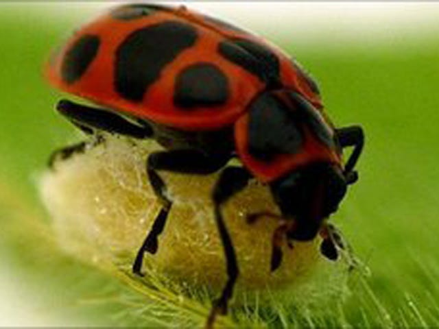 Twitching Zombie Ladybugs Make Great Shelters