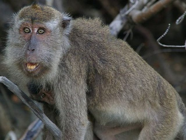 Macaques use synchronized sex to keep alpha males at bay