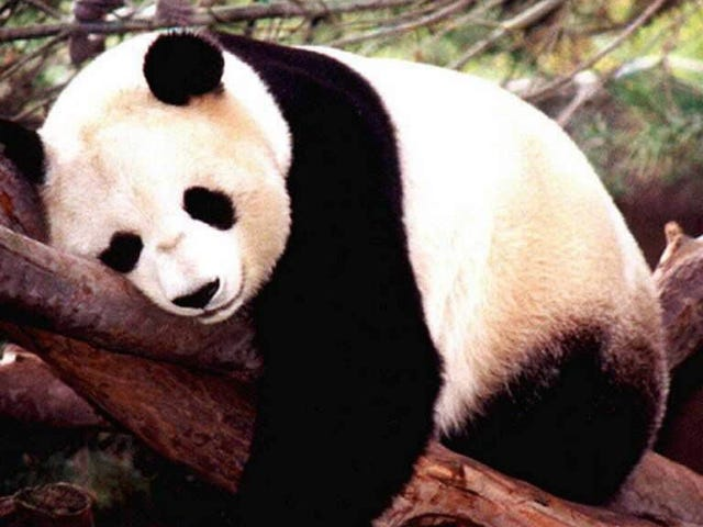 Do pandas hold the key to reducing US reliance on foreign oil?
