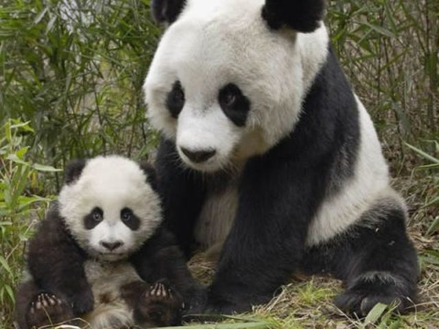 Pandas really don't want to mate with each other