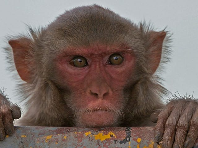 Why did humans and monkeys evolve to hate the color red?