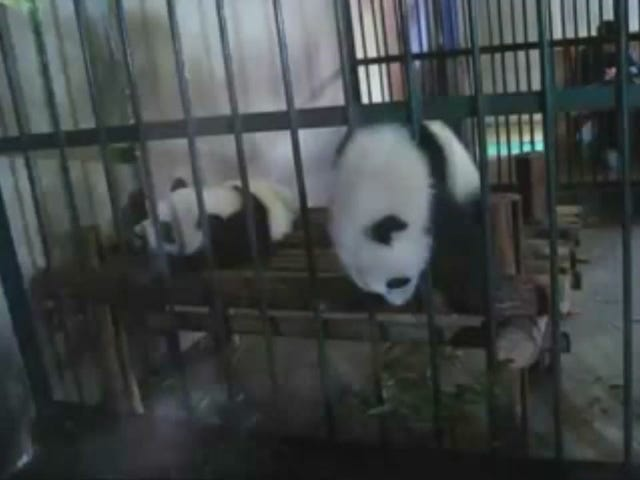 No High Tech Gadgetry Needed For This Panda's Daring Escape