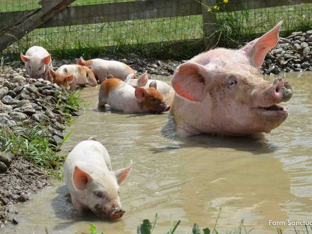 Happy Mother's Day to Julia the Pig (and Her Eight Adorable Piglets)