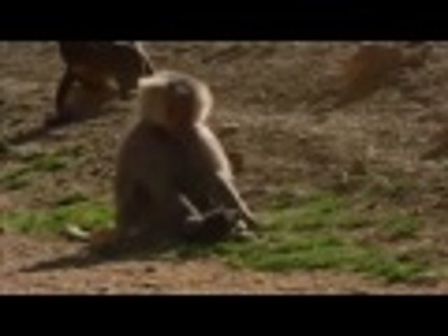 Baboons kidnap puppies and raise them as their own