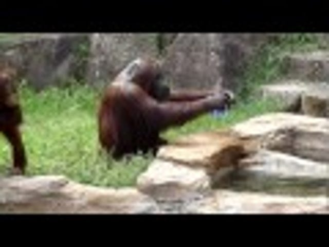 Even An Orangutan Knows How To Cool Himself Off