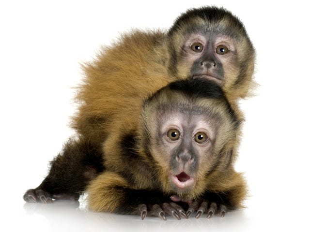 The First Advertising Campaign for Monkeys: Alpha Males and Genitals