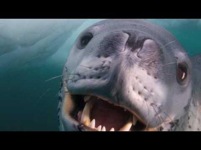 Deadly Leopard Seal: Undersea Friend or Foe?