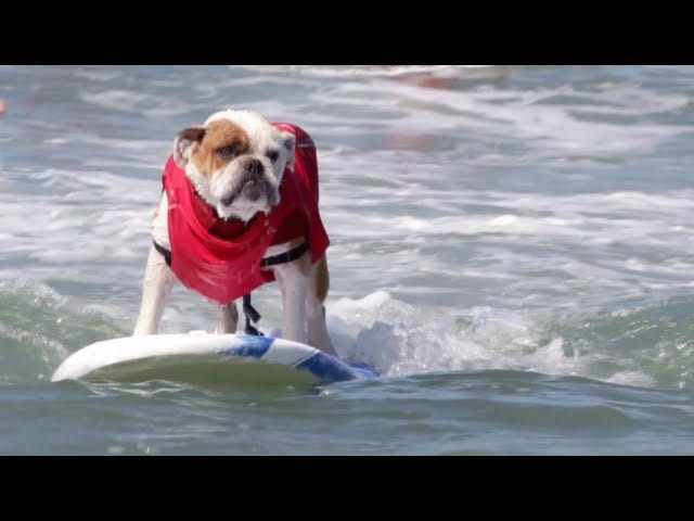 These Surfing Dogs Are Clearly Stoned Out of Their Minds