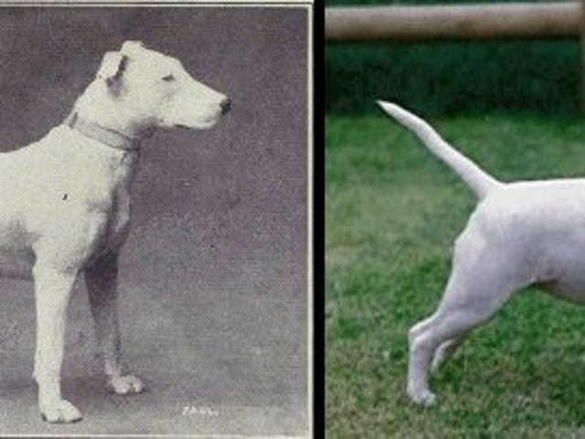 100 years of dog breeding and its changes to the breed