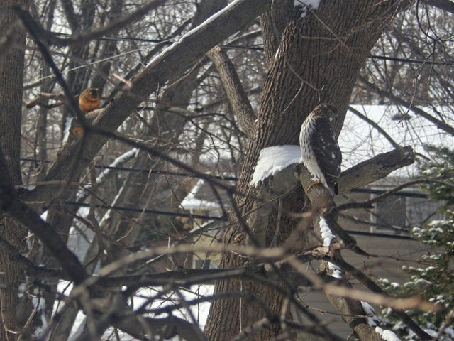 Hanging With Mr. Cooper's Hawk