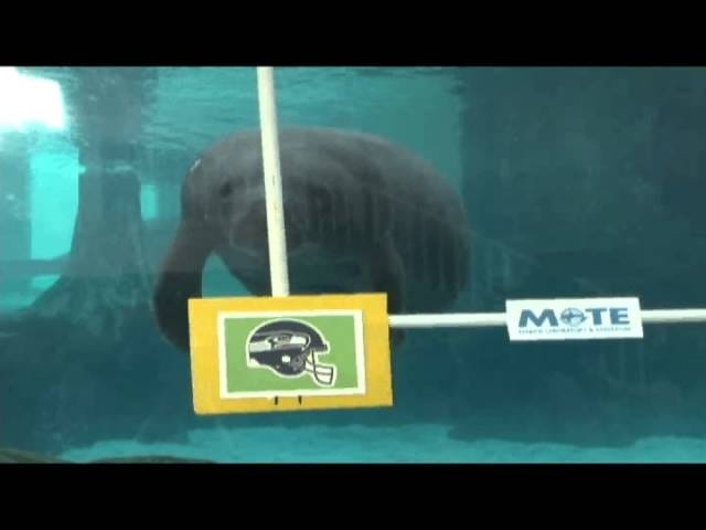 These Manatees Know Who's Winning The Super Bowl