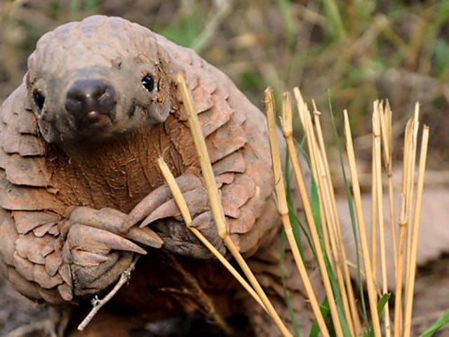 Scales are tipped against the Pangolin