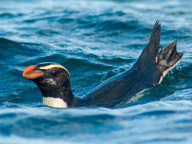 New Zealand Penguins Travel 1,500 Miles for Food in Marathon Migration