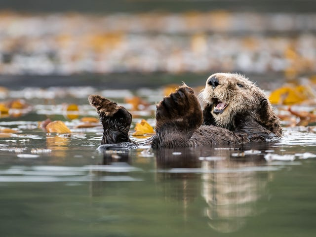 Study Suggests It's Time to Bring Back Sea Otters, Which Is Obviously a Good idea