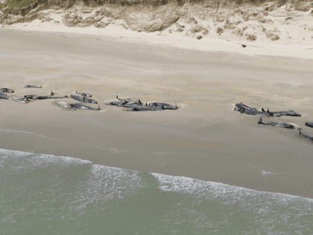 Horrific Scene as 145 Stranded Whales Die on New Zealand Beach