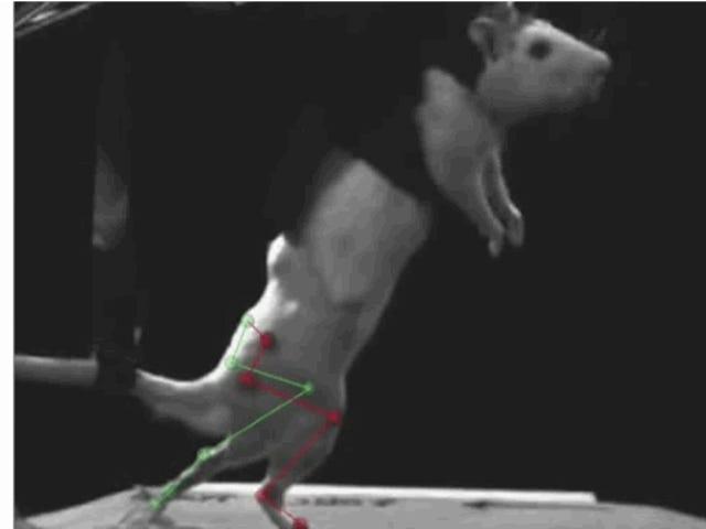 Ein kybernetisches Implantat, mit dem gelähmte Ratten wieder laufen können