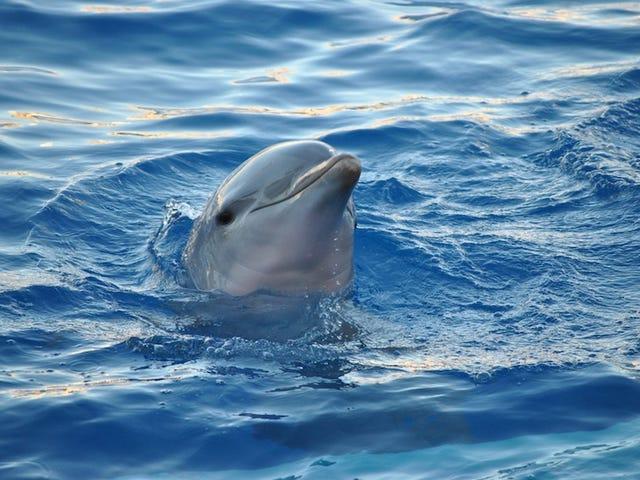 Vau, Dolphin-sukupuoli kuulostaa todella pahalta
