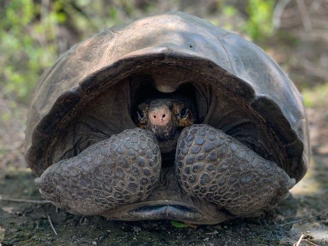 Estinta temuta dalle tartarughe giganti riscoperta nelle Galapagos dopo 113 anni