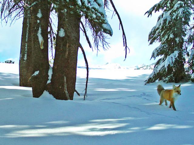 Con cáo hiếm được phát hiện ở Yosemite lần đầu tiên sau gần 100 năm