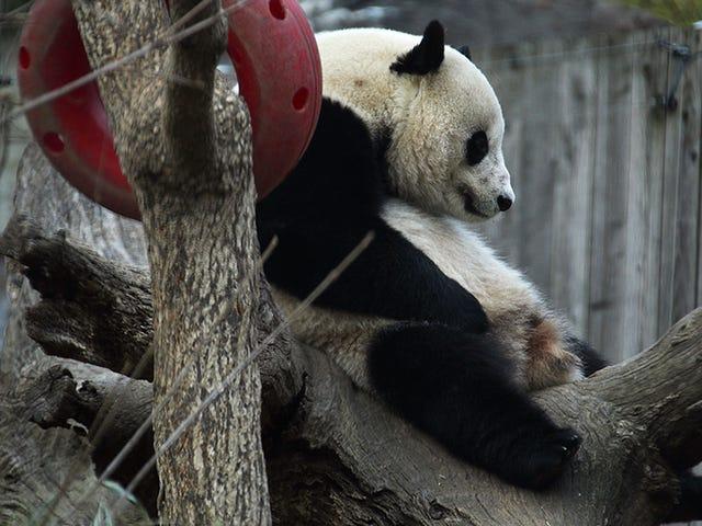 The International Mission to Get Bao Bao the Panda Laid