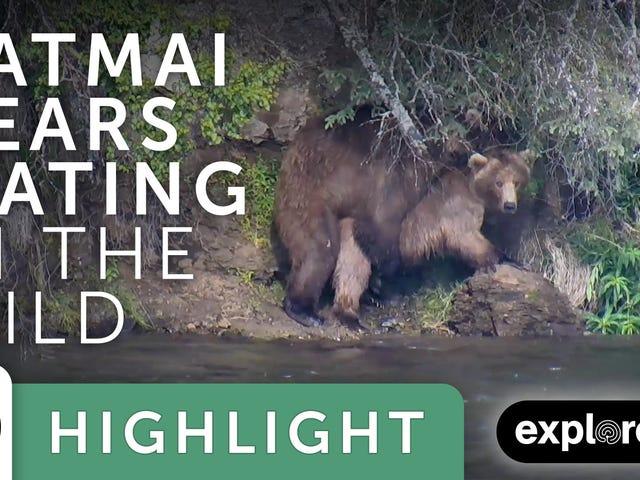 Gli orsi catturarono l'accoppiamento sulla macchina fotografica, iniziando una gravidanza lunga e strana