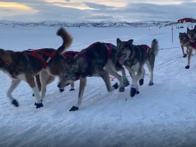 Iditarod Leader Loses Race Lead After His Dogs Quit