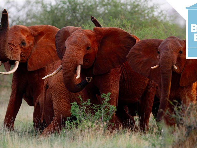 Trump Decides He Will Allow the Import of Endangered Elephant Body Parts After All
