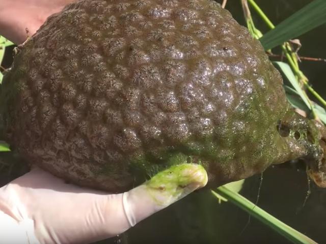 Alien-Like Blob encontrado no lago é realmente uma coisa viva