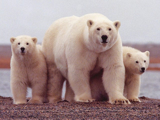 Scientists Slam Republican Plan to Drill in the Arctic National Wildlife Refuge