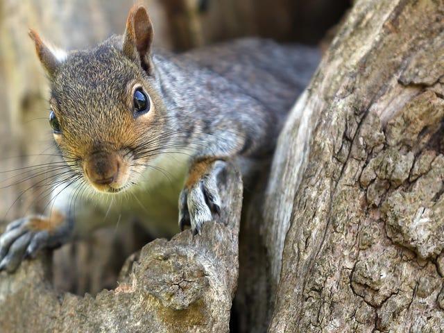 Όλα όσα γνωρίζουμε για το «επιθετικό σκίουρο» που τρομοκρατεί το Μπρούκλιν