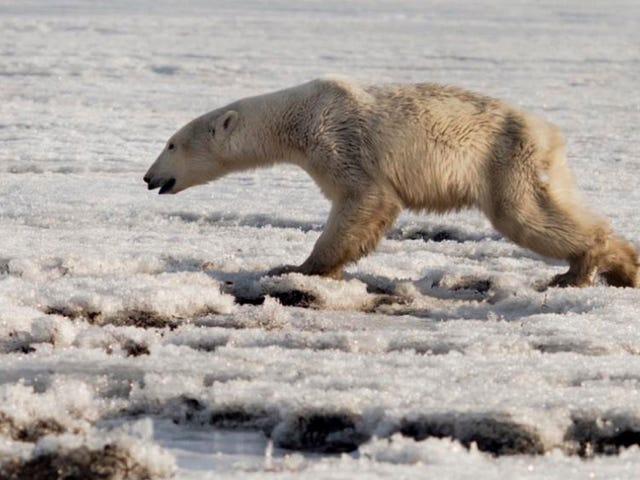 Siamo tutti tristi e perduti dell'orso polare