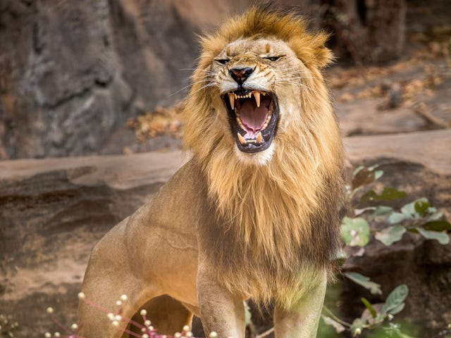 Really, Sis? Woman Risks Her Own Circle of Life in Dance With a Real 'Lion King' at NYC's Bronx Zoo